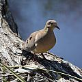Morning Dove by James Petersen