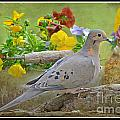 Morning Dove With Pansies by Debbie Portwood