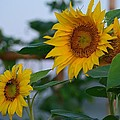 Morning Field Of Sunflowers by Maria Urso