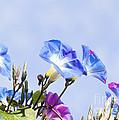 Morning Glory Flowers by Gabriele Pomykaj