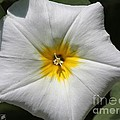 Morning Glory Named White Ensign by J McCombie