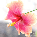 Morning Hibiscus In Gentle Light - Square Macro by Connie Fox