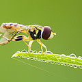 Morning Hoverfly by Mircea Costina Photography