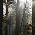 Morning Pines by Karen Kluglein