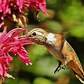 Morning Rufous by VLee Watson