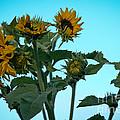 Morning Sunflowers by Cheryl Baxter