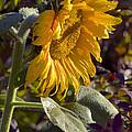 Morning Sunshine by Sharon Talson