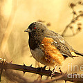 Morning Towhee by Sharon Talson