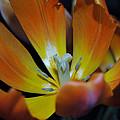 Morning Tulip by Vallee Johnson
