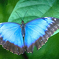 Morpho Blue Butterfly by David Millenheft