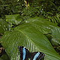 Morpho Butterfly In Rainforest Ecuador by Pete Oxford