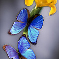 Morpho On Yellow Iris by Kirk Ellison