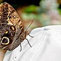 Morphos Butterfly On White Baseball Cap Art Prints by Valerie Garner