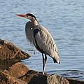 Morro Bay Egret by Tony and Kristi Middleton