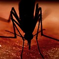Mosquito Biting A Human by Science Photo Library