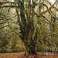 Moss-covered Bigleaf Maple  by Tracy Knauer
