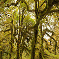 Moss-covered Maple Grove by Tracy Knauer