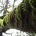 Moss Covered Tree by Nicholas Miller