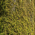 Moss Covered Tree Olympic National Park by Steve Gadomski