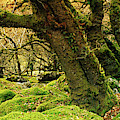 Moss Covered Trees In A Forest by Panoramic Images