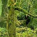 Moss Draped Big Leaf Maple California by Dave Welling