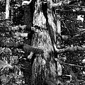 Moss On The Evergreens II In Black And White by Jeanette C Landstrom