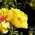 Moss Rose Blooms by Diana Black