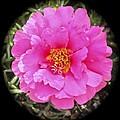 Moss Rose by William Hallett
