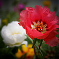 Moss Roses by Susan McMenamin