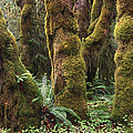 Mossy Big Leaf Maples In Hoh Rainforest by Tim Fitzharris