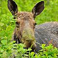 Mossy Moose by Joshua McCullough