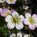 Mossy Saxifrage Flower Carpet by Nicki Bennett