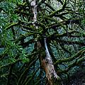 Mossy Tree by Ernie Echols