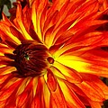 Mostly Orange Dahlia Flower by Susan Garren