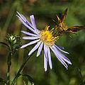 Moth Feeding On Aster Dragon by Belinda Greb