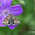 Moth Feeding On Geranium Sanguineum by Jivko Nakev