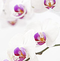 Moth Orchid by Anne Gilbert