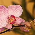 Moth Orchid by Ed Gleichman