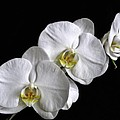 Moth Orchid Trio by Ron White