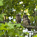 Mother And Baby Barred Owl by Jill Lang