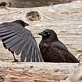 Mother And Baby Crow At The Beach by Peggy Collins
