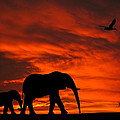Mother And Baby Elephants Sunset Silhouette Series by David Dehner