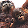 Mother And Baby Orangutan Borneo by Carole-Anne Fooks