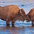 Mother And Calf Bison In The Lamar River In Yellowstone National Park by Fred Stearns