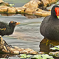Mother And Chick by Bruce Bain
