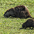 Mother And Child - Coypu - Nutria by Belinda Greb