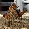 Mother And Two Fawn IIi by William McCoy