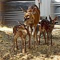 Mother And Two Fawn  by William McCoy
