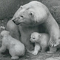Mother Bear Shows Off Her Twin Babies. Tiyak And Tineak - by Retro Images Archive