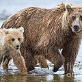 Mother Brown Bear And Cub Walking Up Stream by Dan Friend